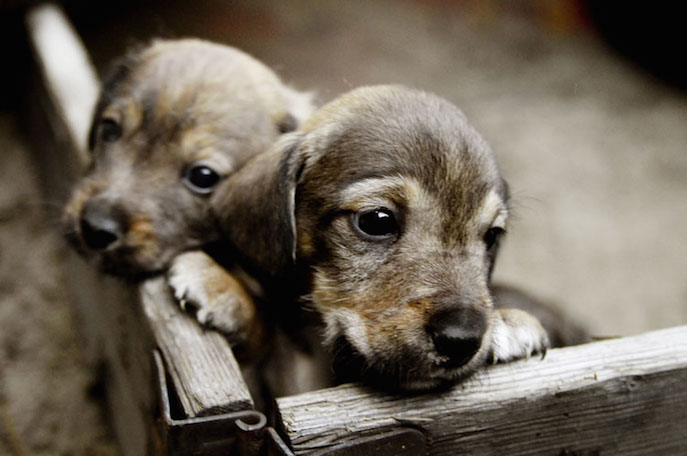 Should you adopt two puppies at the same time? Find out if raising two puppies is double the trouble or double the pleasure by visiting our website.